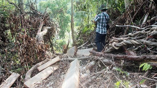 Rừng phòng hộ Sông Tranh tại Trà Bui bị tàn phá nghiêm trọng. Ảnh H.P