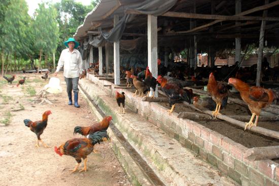 Người chăn nuôi gà ở Phú Ninh gặp khó về đầu ra.Ảnh: V.CÔNG