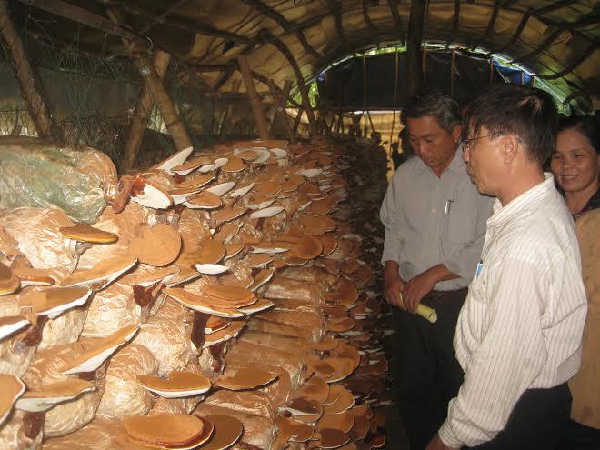 Ứng dụng kỹ thuật vào sản xuất nấm cho năng suất cao.