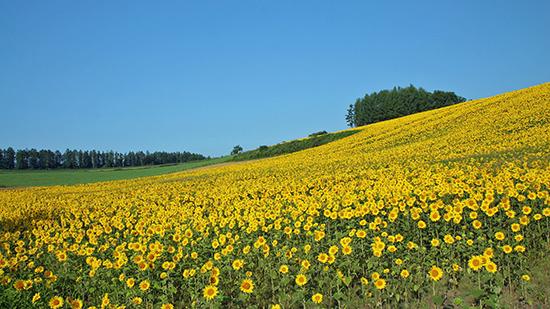 Hoa hướng dương trải dài bất tận trên những sườn đồi miền tây xứ Nghệ.