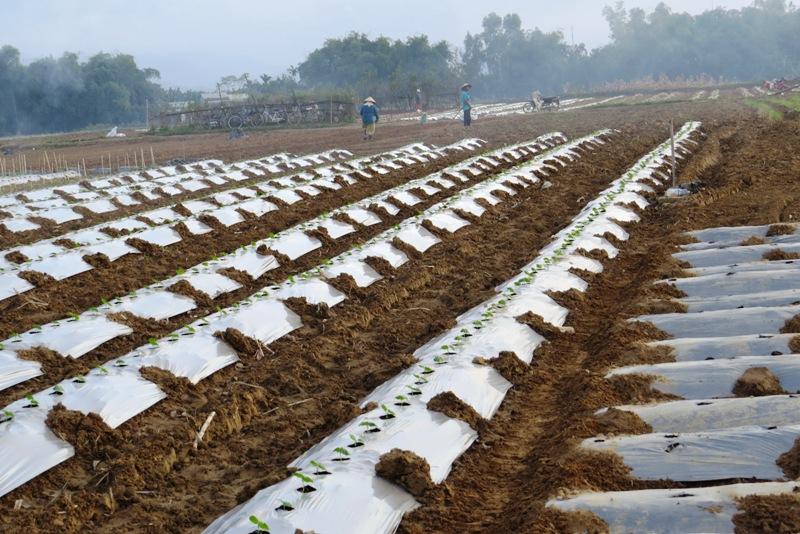 Vùng sản xuất chuyên canh rau Bàu Tròn. Bích Liên