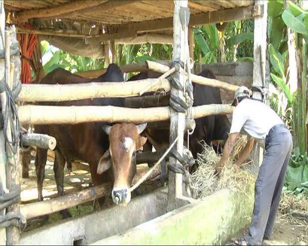 Nhờ có đàn bò mà người dân có điều kiện cho con đi học, nhà cửa xây dựng khang trang.