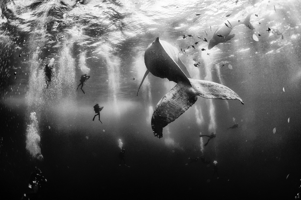 Diving with a humpback whale and her new born calf while they cruise around Roca Partida Island, in Revillagigedo, Mexico. #  © Anuar Patjane