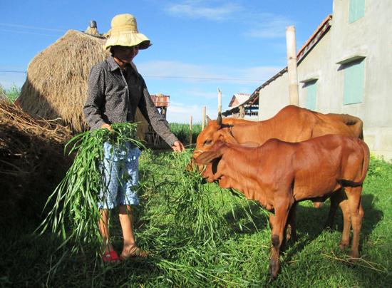 Chăn nuôi bò thâm canh giúp nhiều hộ dân ở xã Duy Châu nhanh chóng làm giàu. Ảnh: T.N
