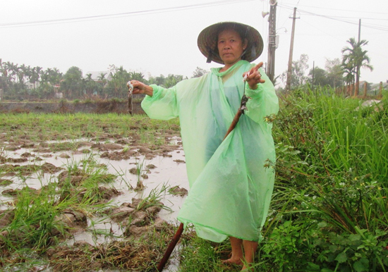 Mặc dù trời mưa lạnh nhưng nông dân ở nhiều nơi vẫn tích cực ra đồng diệt chuột. Ảnh: HOÀI NHI