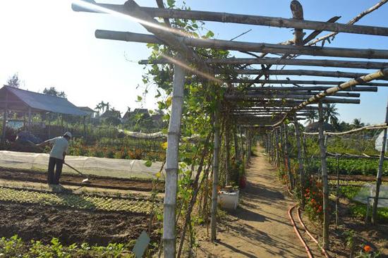 Tổ hợp tác trồng rau hữu cơ Thanh Đông, Cẩm Thanh (Hội An) không chỉ sản xuất nông nghiệp mà còn là điểm tham quan du lịch hấp dẫn. Ảnh: Q.T