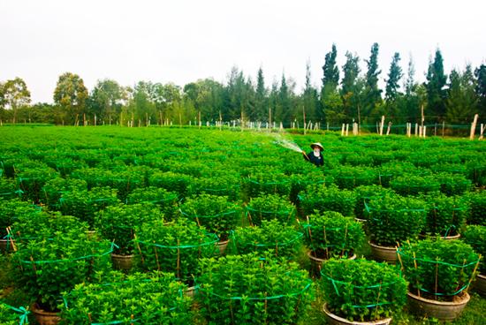 Hàng ngàn chậu hoa cúc của nông dân Tam Kỳ chuẩn bị xuất bán trong dịp tết. Ảnh: N.Đ.N