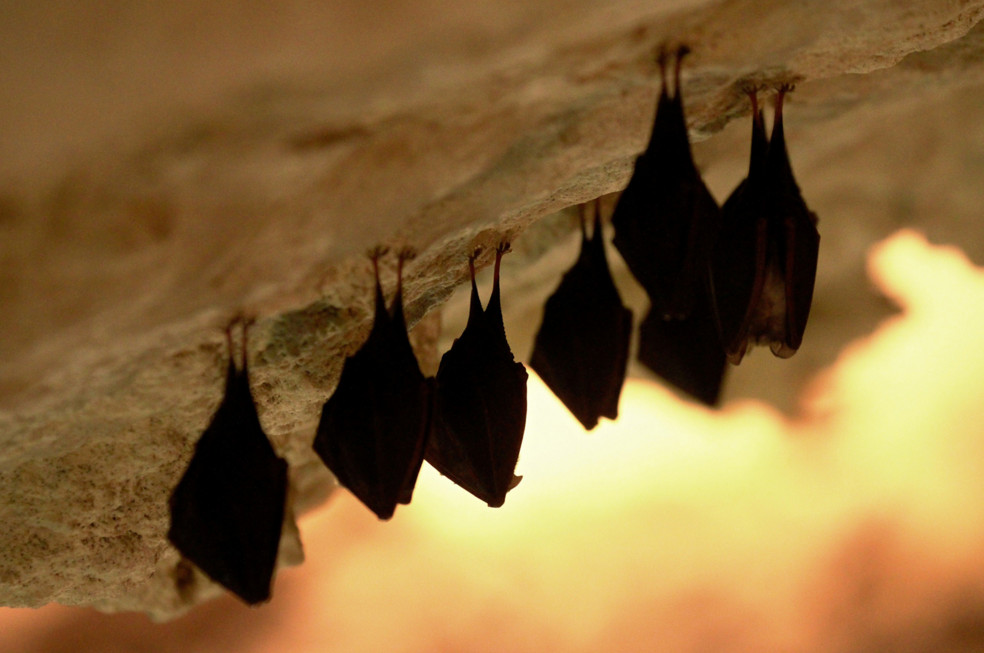 Bats hang from the roof of a cave in Mikulov, Czech Republic, on March 9, 2015. #  Radek Mica / AFP / Getty