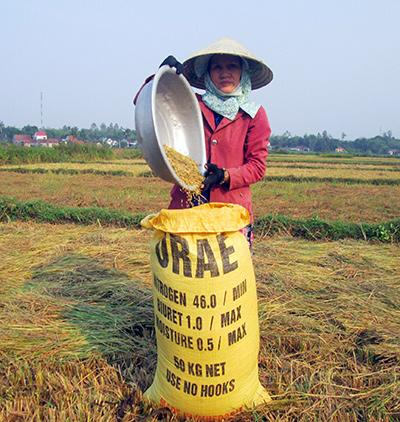 Năng suất lúa ở nhiều nơi trong tỉnh tụt giảm mạnh.Ảnh: T.R
