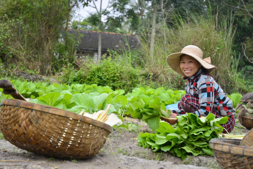 Nông dân Hưng Mỹ thu hoạch rau sạch. Ảnh : XUÂN KHÁNH