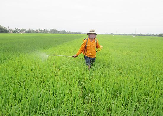 Phun thuốc trừ sâu quá nhiều, chất lượng hạt gạo sẽ bị ảnh hưởng nghiêm trọng.Ảnh: HOÀI NHI