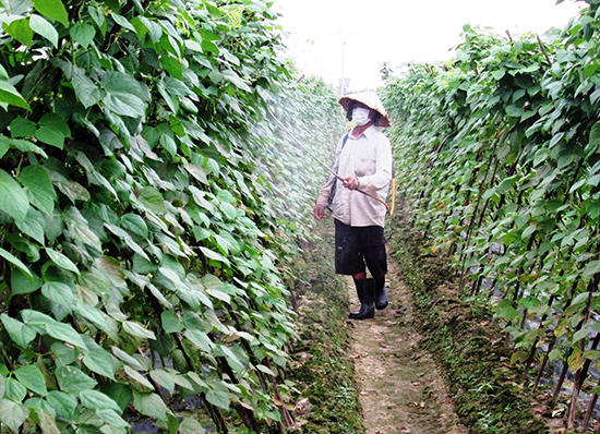 Sản xuất rau quả theo cách truyền thống, nông dân thường lạm dụng thuốc bảo vệ thực vật. Ảnh: HOÀI NHI
