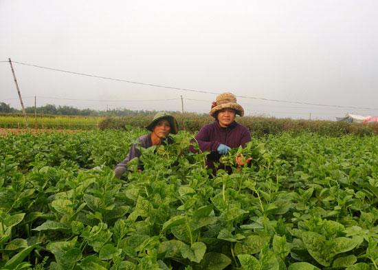 Nhờ chủ động nguồn nước tưới, hàng loạt mô hình sản xuất cây trồng cạn theo phương thức hàng hóa đã được hình thành.
