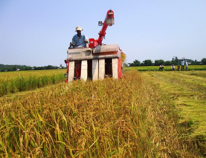 Vụ này, năng suất lúa của Duy Xuyên chỉ đạt 60 tạ/ha, giảm 2,4 tạ/ha so với năm ngoái. Ảnh: N.P