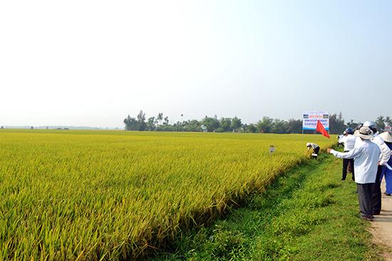 Người dân tham khảo mô hình sản xuất lúa hàng hóa do HTX Bình Đào tổ chức triển khai trong vụ đông xuân vừa qua.Ảnh: Q.VIỆT