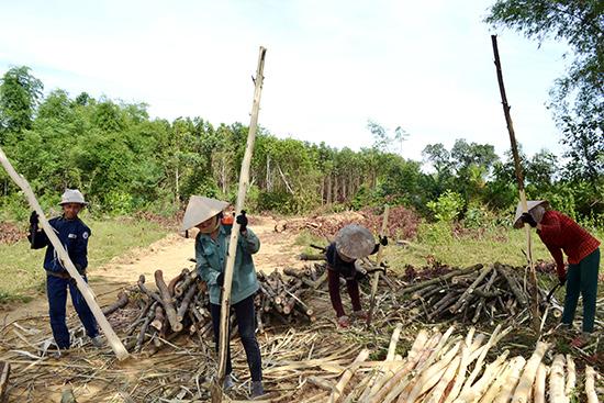 Mặt bằng đoạn rừng trồng cây nguyên liệu tại thôn Thạch Kiều tiếp tục ách tắc. Ảnh: C.T