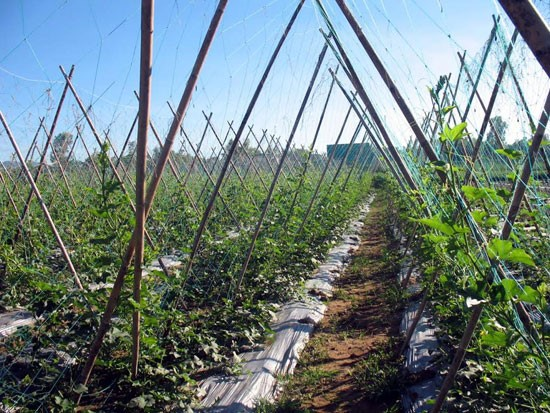 A vegetable garden in Bau Tron (Dai An commune, Dai Loc district, Quang Nam province). Picture: CHAU NU