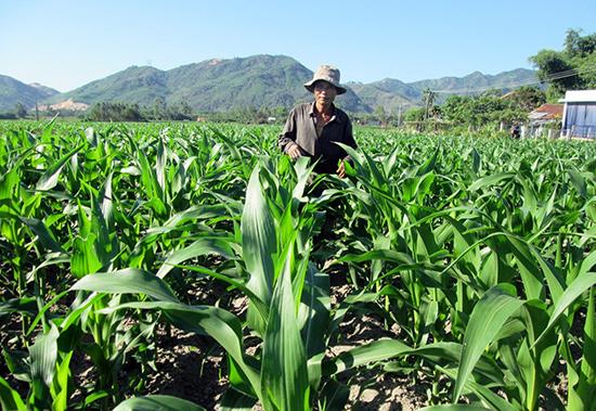 Vụ hè thu này, nông dân trên địa bàn huyện chuyển nhiều diện tích đất lúa bấp bênh nước tưới sang canh tác bắp lai.Ảnh: HOÀI NHI