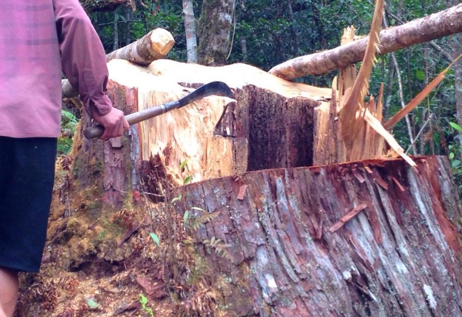Hiện trường một gốc cây pơmu quý hiếm bị tàn phá. Ảnh: CTV