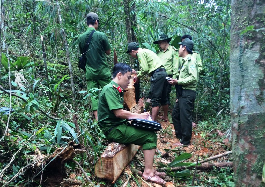 Có tổng cộng 60 cây gỗ pơmu bị triệt hạ trong vụ phá rừng pơmu xảy ra ở vùng biên giới huyện Nam Giang