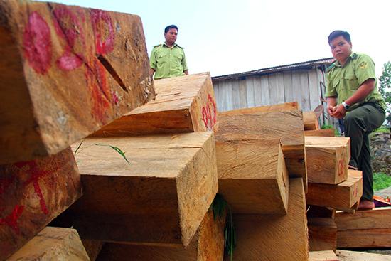 Cơ quan chức năng đã thu giữ hơn 600 phách gỗ pơ mu. Ảnh: NGƯỚC - CÔNG