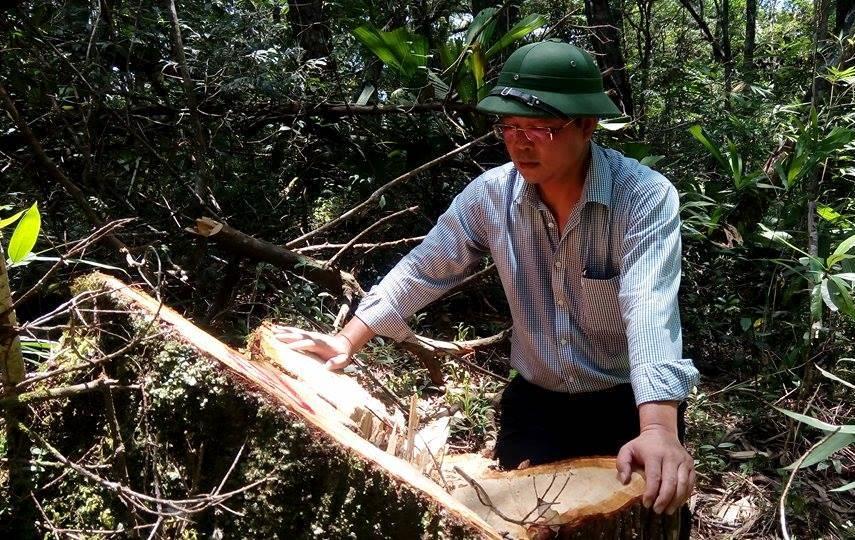 Phó Chủ tịch UBND tỉnh Lê Trí Thanh tại một gốc cây pơ mu vừa bị lâm tặc đốn hạ. Ảnh: T.C