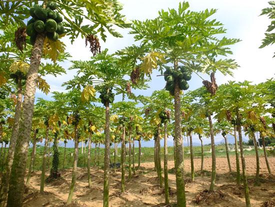 Cây đu đủ mang lại thu nhập ổn định cho nông dân thôn Bàu Tròn. Ảnh: T.HIẾN
