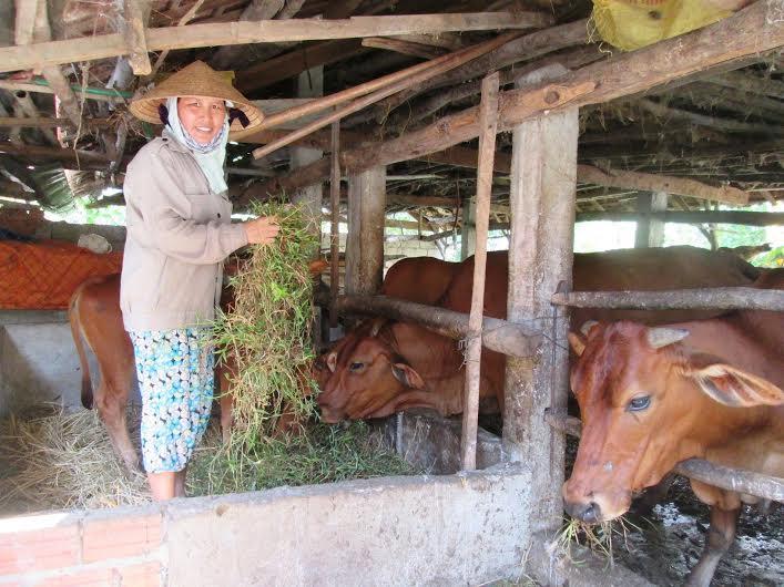 Bò là đối tượng vật nuôi được ưu tiên tiêm phòng bệnh lở mồm long móng. Ảnh: VĂN SỰ