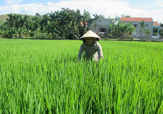 Nhà nông cần kiểm tra chặt chẽ đồng ruộng để chủ động phòng trừ sâu bệnh hại lúa. Ảnh: TƯ RUỘNG