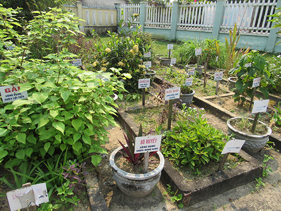 Việc bảo tồn và phát triển nguồn dược liệu từ cây thuốc nam luôn được các hội Đông y chú trọng.