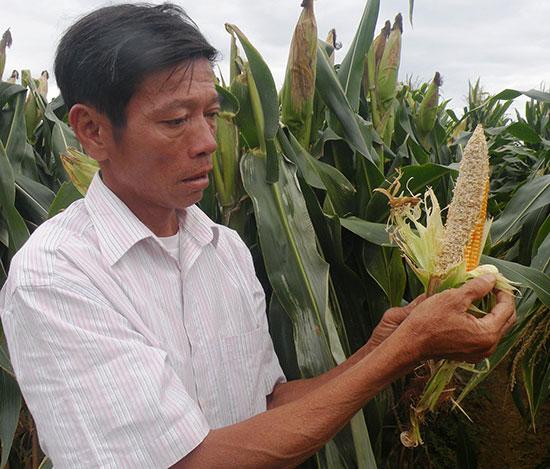 Ông Phạm Phú Đinh ở thôn Tân Bình 3 (xã Điện Trung, Điện Bàn) lo lắng vì mùa bắp thất bát nghiêm trọng.Ảnh: TƯ RUỘNG