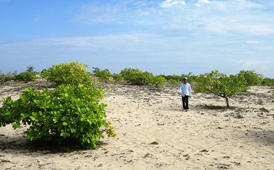 Mặc dù tỉnh hỗ trợ cây giống, phân bón nhưng diện tích trồng điều ở những vùng cát vẫn thấp hơn 700ha so với mục tiêu đề ra.Ảnh: VĂN SỰ
