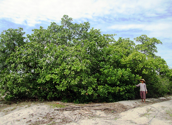 Thời điểm năm 2000 - 2003, hàng nghìn hộ dân ào ạt chặt phá dương liễu và nhiều loại cây khác để lấy đất trồng điều ghép. Ảnh: VĂN SỰ