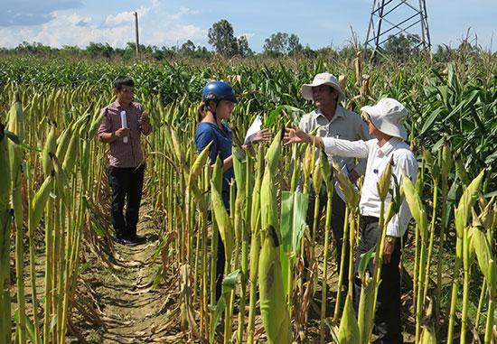 Giống bắp biến đổi gen được trồng khảo nghiệm tại Duy Xuyên. Ảnh: H.L
