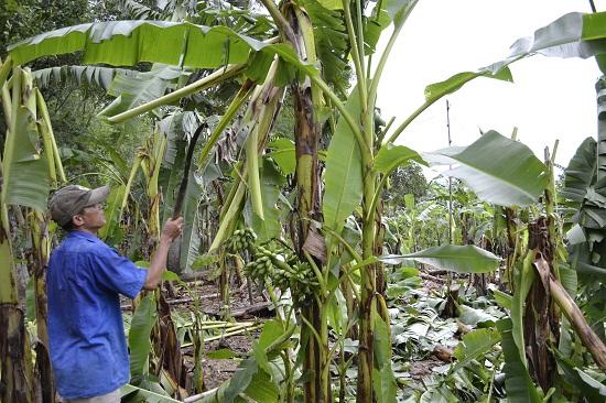 Vườn chuối nhà bà Bảy bị hư hại nặng. Ảnh: C.TÚ