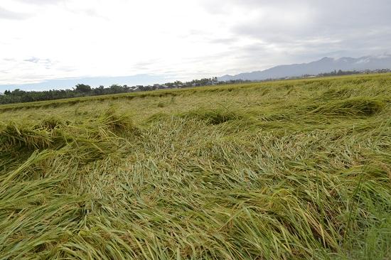 Một số diện tích lúa chưa thu hoạch tại Đại Cường bị ngã đổ. Ảnh: C.TÚ