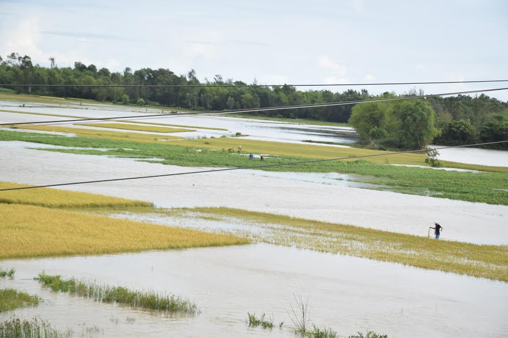 Cánh đồng An Phú ngập trong biển nước