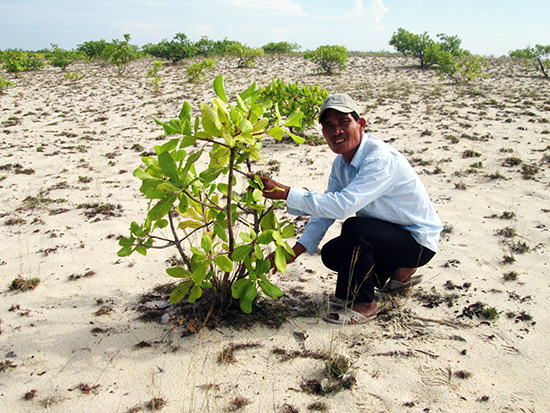 Tuy được trồng cách đây mười mấy năm nhưng nay nhiều cây điều ở vùng cát Duy Xuyên chỉ cao hơn nửa mét.