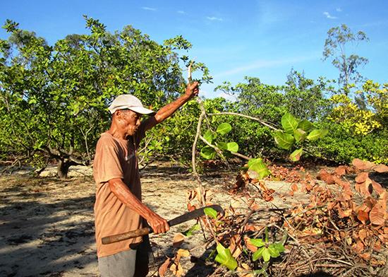 Ông Cao Thuật ở thôn Duy An - Hà Tây (xã Bình Dương, Thăng Bình) đang tính chuyện chặt cây điều để trồng nhãn lồng, ổi, xoài. Ảnh: VĂN SỰ