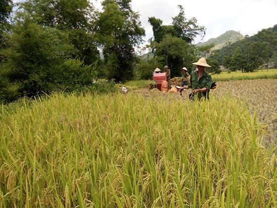Bà con nông dân Phú Ninh đang thu hoạch lúa hè thu 2016.