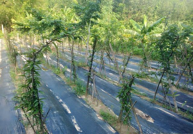 Cây sâm ba kích tím sinh trưởng, phát triển tốt tại xã Phước Trà, huyện Phước Sơn. Ảnh: MỸ LINH
