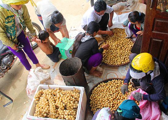 Người dân Đông Giang lựa bán lòn bon cho các tiểu thương.