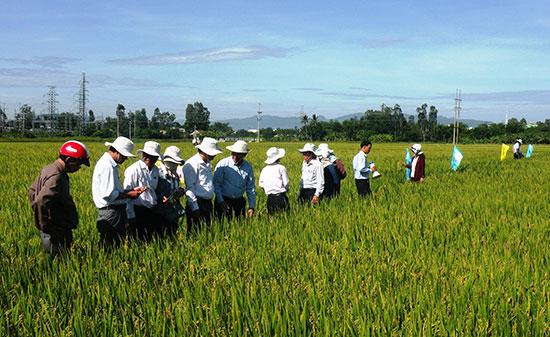 Mô hình liên kết sản xuất giống lúa hàng hóa của HTX Nông nghiệp Ái Nghĩa mang lại hiệu quả kinh tế cao. Ảnh: VĂN SỰ