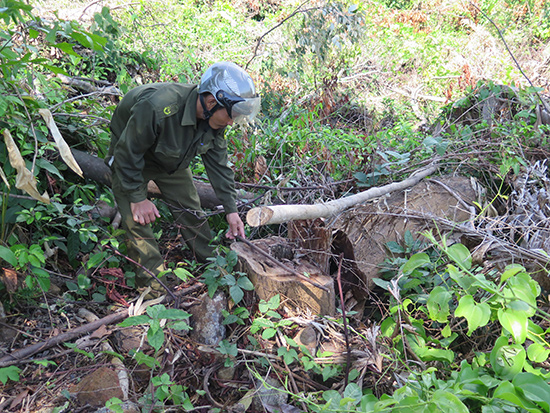 Nhiều cây có đường kính 0,5m bị chặt hạ.Ảnh: P.NAM