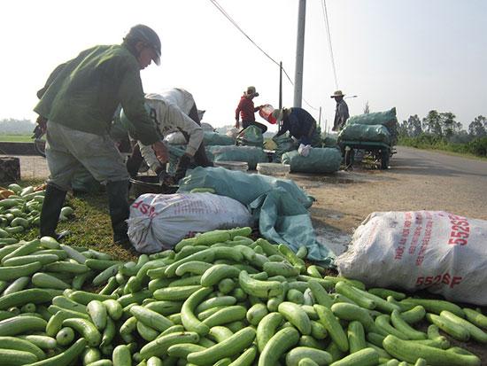 Nhiều thương lái đến thu mua dưa tại thôn Đồng Tràm Nam, Hương An. Ảnh: D.T