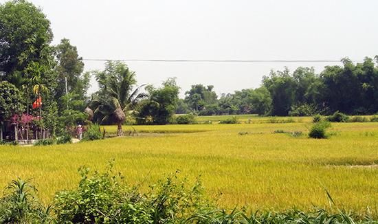 Nhờ có hệ thống kênh dẫn nước, cánh đồng Miếu Bà ở Tân Phú đã sản xuất được mỗi năm 2 vụ lúa.