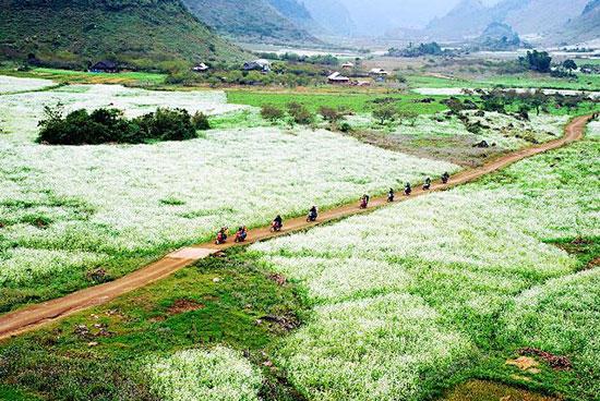 Mùa hoa cải trắng cao nguyên Mộc Châu. Ảnh: internet
