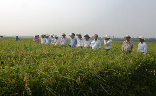 Gần đây, hàng chục doanh nghiệp tìm đến Quảng Nam liên kết với nông dân sản xuất giống lúa hàng hóa với diện tích 4.900ha/năm. Ảnh: VĂN SỰ