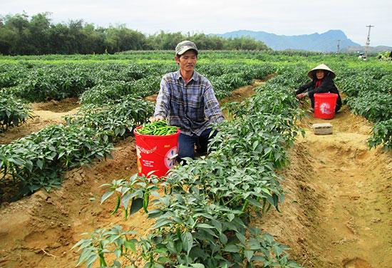 Cần thu hút mạnh doanh nghiệp đầu tư vào nông nghiệp để tạo đầu ra ổn định cho các loại nông sản.Ảnh: VĂN SỰ