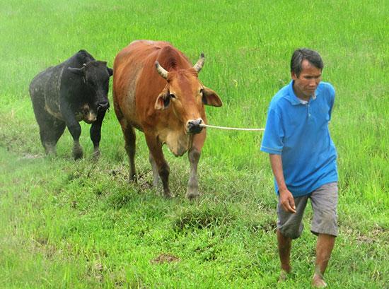 Con lai 3B là bước đột phá về giống trong lĩnh vực chăn nuôi Đại Lộc. Ảnh: H.Liên